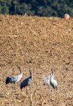 eine vierköpfige Kranichfamilie über den Feldern an der Müritz (c) Frank Koebsch (5)