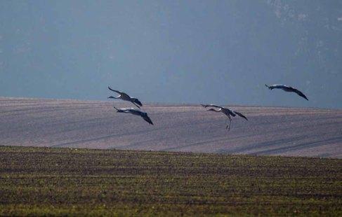 eine vierköpfige Kranichfamilie landet auf den Feldern an der Müritz (c) Frank Koebsch (2)