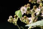 Grünader Weißling nascht bei den Brombeerblüten (c) Frank Koebsch (4)