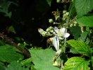 Kleiner Kohlweißling auf den Brommbeerblüten (c) Frank Koebsch (2)