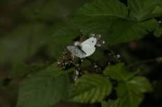 Kleiner Kohlweißling nascht bei den Brombeerblüten (c) Frank Koebsch (3)