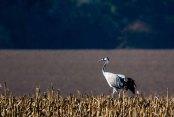 Kranich in der Stoppeln eines Mais Feldes (c) FRank Koebsch (1)