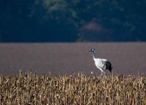 Kranich in der Stoppeln eines Mais Feldes (c) FRank Koebsch (3)