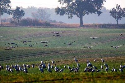 Kraniche auf den Feldern an der Müritz (c) Frank Koebsch (13)