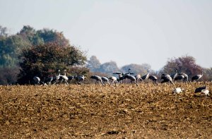 Kraniche auf den Feldern an der Müritz (c) Frank Koebsch (3)