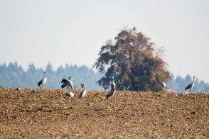 Kraniche auf den Feldern an der Müritz (c) Frank Koebsch (4)