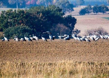 Kraniche auf den Feldern an der Müritz (c) Frank Koebsch (6)