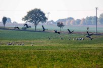 Kraniche auf den Feldern an der Müritz (c) Frank Koebsch (7)