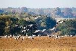 Kraniche auf den Feldern an der Müritz (c) Frank Koebsch (9)