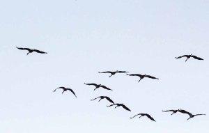 Kraniche im Anflug auf den Rederang See (c) FRank Koebsch (3)