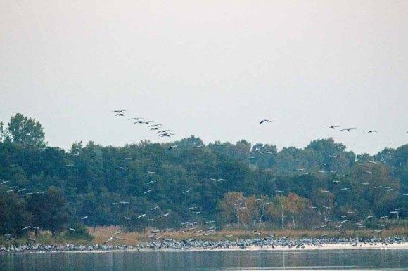Kraniche im Anflug auf den Rederang See (c) FRank Koebsch (4)