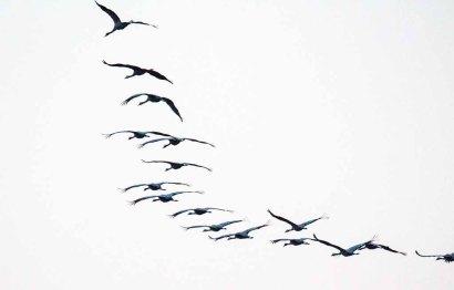 Kraniche im Anflug auf den Rederang See (c) FRank Koebsch (5)
