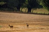 Bock und Ricke auf den Feldern bei Sanitz (c) Frank Koebsch (2)
