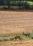 Bock und Ricke auf den Feldern bei Sanitz (c) Frank Koebsch (4)