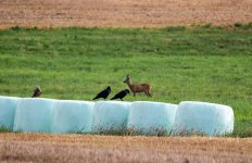 Rotmilan, Krähen auf den Feldern bei Sanitz (c) Frank Koebsch (2)