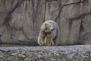 Eisbär Akiak im Polarium des Rostocker Zoos (c) Frank Koebsch (1)