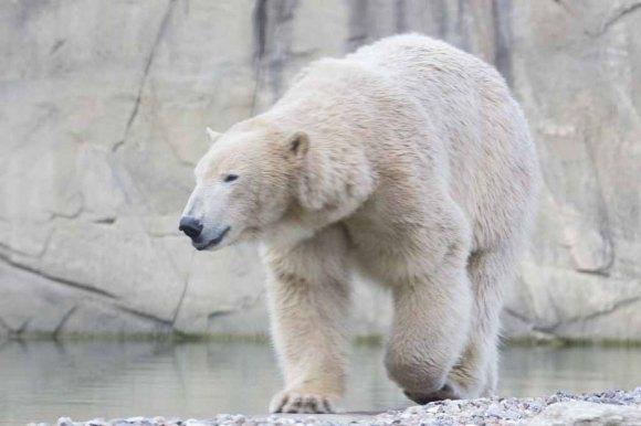 Eisbär Akiak im Polarium des Rostocker Zoos (c) Frank Koebsch (3)