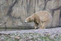 Eisbär Akiak im Polarium des Rostocker Zoos (c) Frank Koebsch (4)
