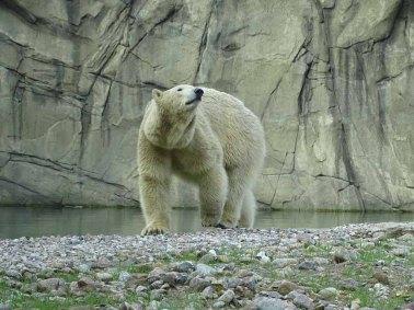Eisbär Akiak im Polarium des Rostocker Zoos (c) Hanka Koebsch (1)
