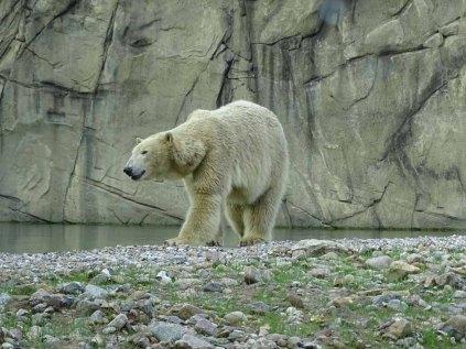Eisbär Akiak im Polarium des Rostocker Zoos (c) Hanka Koebsch (2)