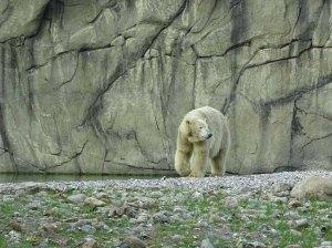 Eisbär Akiak im Polarium des Rostocker Zoos (c) Hanka Koebsch (3)