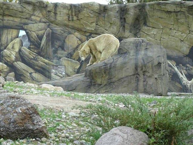 Eisbär Akiak im Polarium des Rostocker Zoos (c) Hanka Koebsch (7)