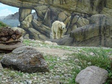 Eisbär Akiak im Polarium des Rostocker Zoos (c) Hanka Koebsch (8)