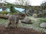 Eisbärin Noria im Polarium des Rostocker Zoos (c) Hanka Koebsch (3)