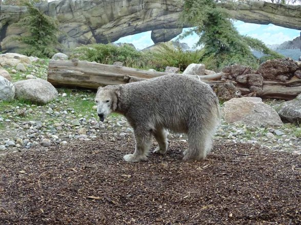 Eisbärin Noria im Polarium des Rostocker Zoos (c) Hanka Koebsch (4)