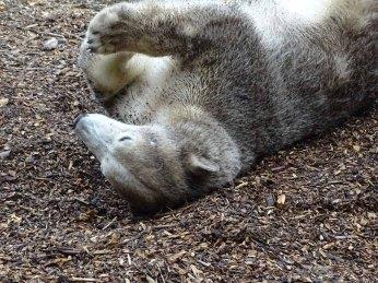 Eisbärin Noria im Polarium des Rostocker Zoos (c) Hanka Koebsch (7)