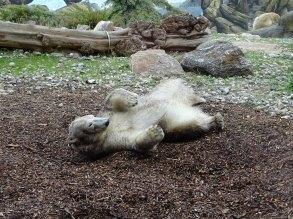 Eisbärin Noria im Polarium des Rostocker Zoos (c) Hanka Koebsch (8)