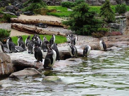 PInguine im neuen Gehege des Rostocker Zoos (c) Hanka Koebsch (1)