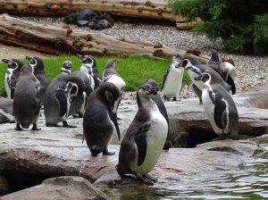 PInguine im neuen Gehege des Rostocker Zoos (c) Hanka Koebsch (2)