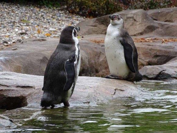 PInguine im neuen Gehege des Rostocker Zoos (c) Hanka Koebsch (3)