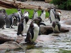 PInguine im neuen Gehege des Rostocker Zoos (c) Hanka Koebsch (4)