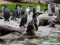 PInguine im neuen Gehege des Rostocker Zoos (c) Hanka Koebsch (5)