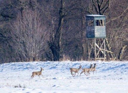 Rehe auf den winterlichen Wiesen bei Sanitz (c) FRank Koebsch (1)