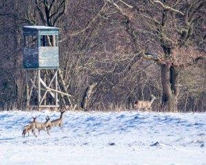 Rehe auf den winterlichen Wiesen bei Sanitz (c) FRank Koebsch (2)