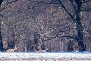 Rehe auf den winterlichen Wiesen bei Sanitz (c) FRank Koebsch (25)