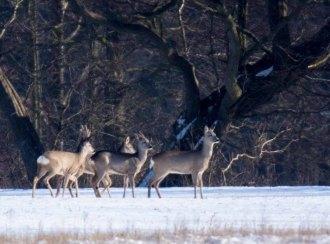 Rehe auf den winterlichen Wiesen bei Sanitz (c) FRank Koebsch (29)