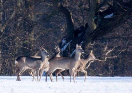 Rehe auf den winterlichen Wiesen bei Sanitz (c) FRank Koebsch (30)