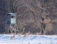 Rehe auf den winterlichen Wiesen bei Sanitz (c) FRank Koebsch (4)