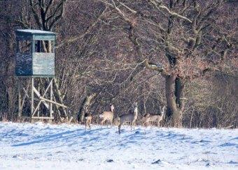 Rehe auf den winterlichen Wiesen bei Sanitz (c) FRank Koebsch (5)
