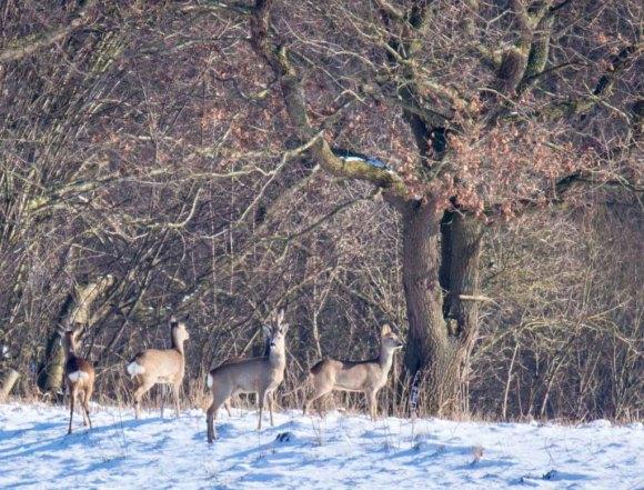Rehe auf den winterlichen Wiesen bei Sanitz (c) FRank Koebsch (6)