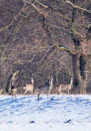 Rehe auf den winterlichen Wiesen bei Sanitz (c) FRank Koebsch (8)