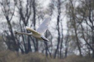 Fliegender Schwan über den Wiesen von Middelgahen (c) FRank Koebsch (1)