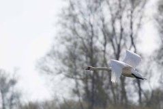 Fliegender Schwan über den Wiesen von Middelgahen (c) FRank Koebsch (2)