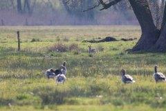 Gänse mit Hasen auf den Wiesen von Middelhagen (c) Frank Koebsch (2)