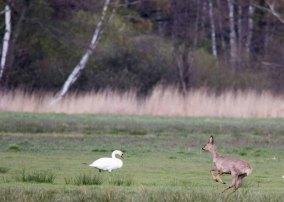 Reh auf den Wiesen von Middelhagen (c) FRank Koebsch (2)