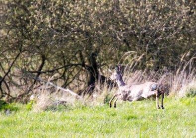 Reh auf den Wiesen von Middelhagen (c) FRank Koebsch (9)